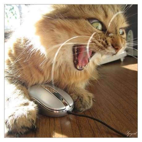 pisica mirata de voturi